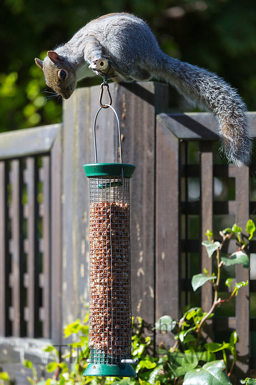 Grey Squirrel, Sciurus carolinensis, puzzling over challenge of how to feed on peanuts in a garden bird nut feeder