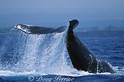 humpback whale, Megaptera novaeangliae, upside-down, slapping tail on water, South Kohala, Hawaii Island; caption must include notice that photo was taken under NMFS research permit #587