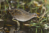 Spotted Crake Porzana porzana L 19-22cm. Secretive wetland bird. Sexes are similar. Adult has mainly brown upperparts and blue-grey underparts, all adorned with white spots; note dark-centred feathers on back and striking barring on flanks. Bill is yellow with a red base; face is marked with black and undertail coverts are pale buff. Legs and feet are greenish. Juvenile lacks adult's dark face and throat and blue-grey elements of plumage are buffish grey. Voice Male's territorial call is a repetitive whiplash-like whistle, uttered after dark. Status Migrant visitor. Favours impenetrable wetlands so breeding status is impossible to assess accurately.