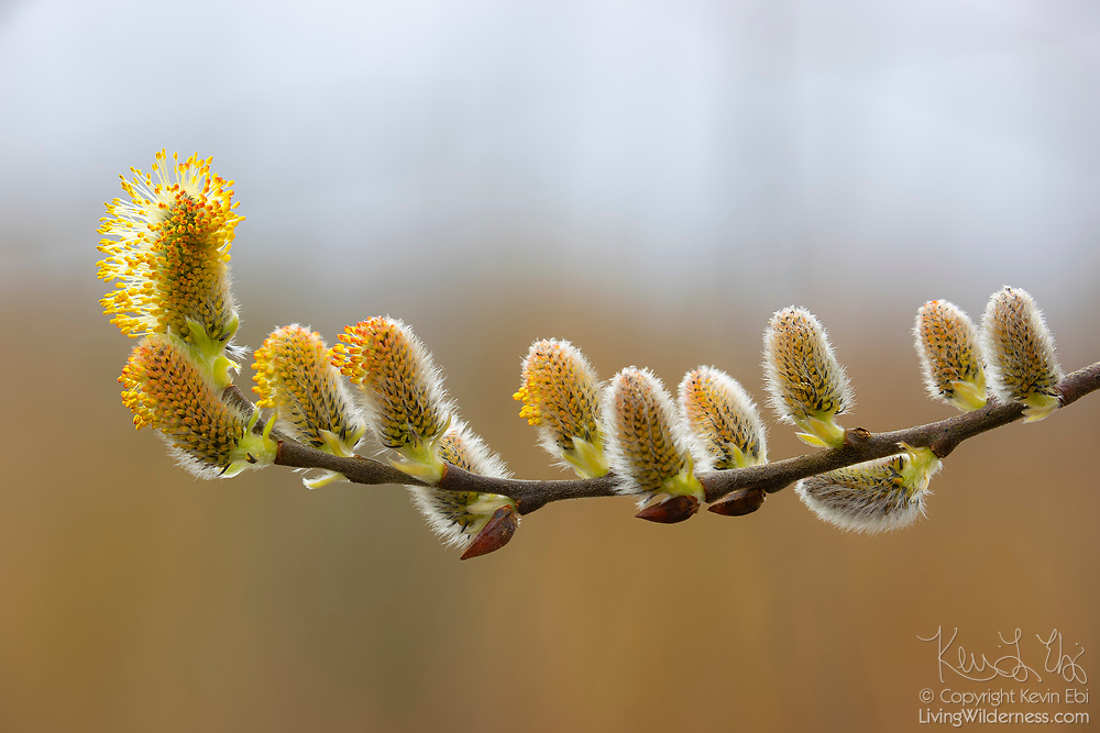 The male flowers of a Scouler's willow (Salix scouleriana) tree begin to develop in late winter in Magnuson Park, Seattle, Washington.
