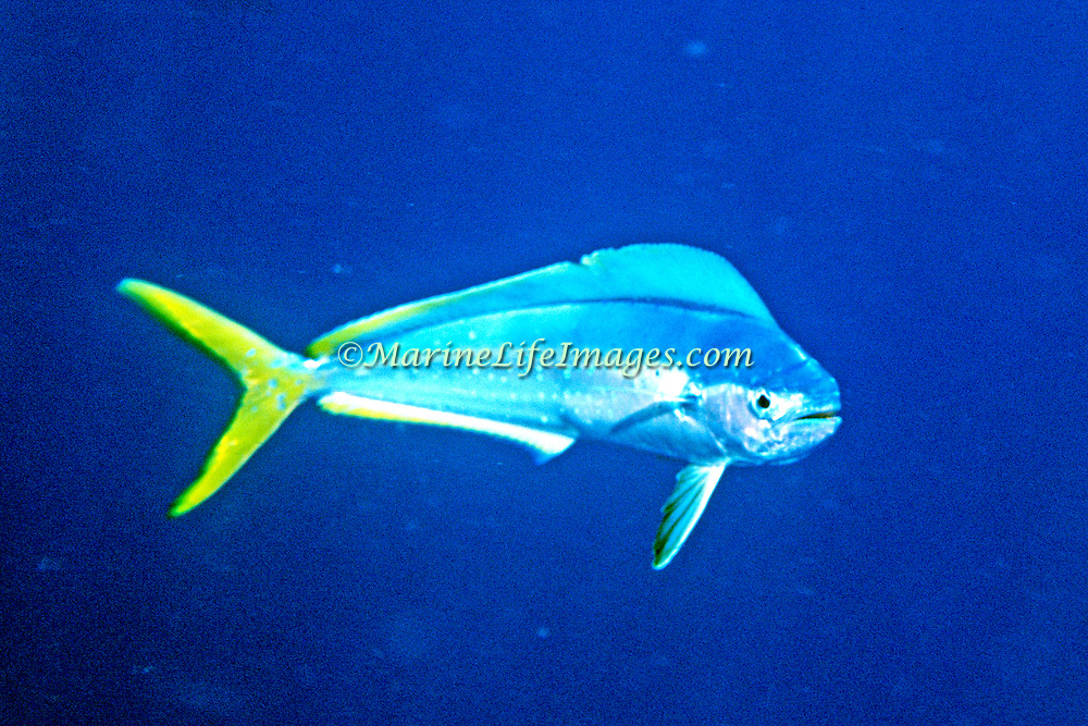 Dolphinfish also know as Mahi Mahi, female, inhabit open water in Tropical West Atlantic, also cirumtropical and subtropical; picutre from Nassau, Bahamas.