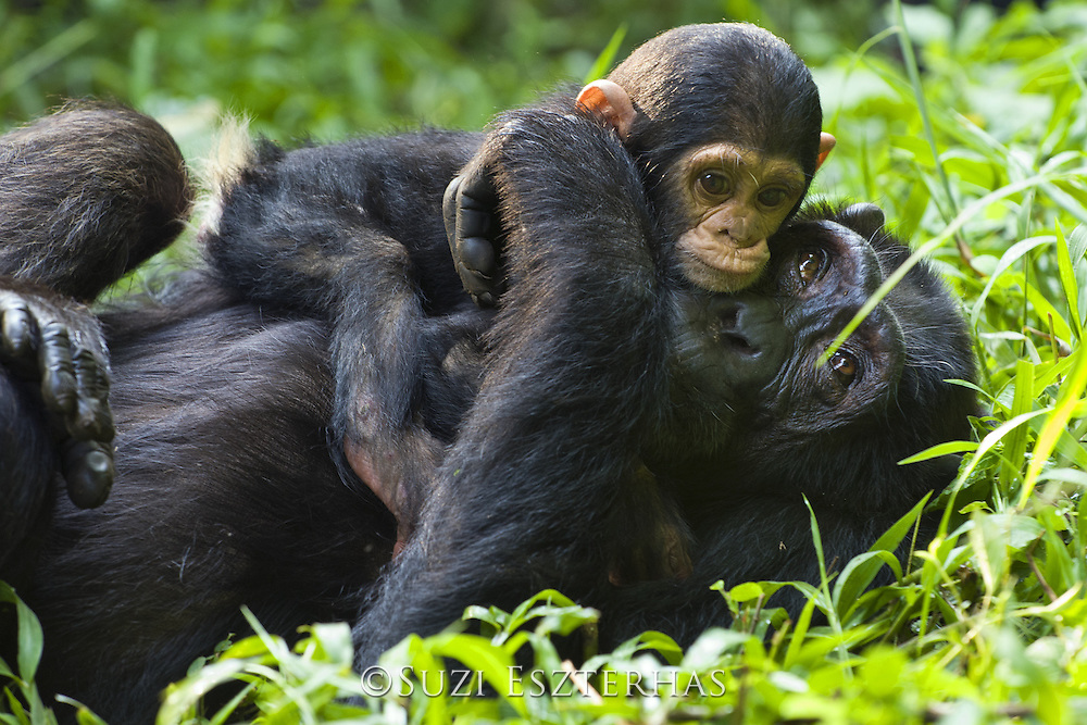 Chimpanzee<br /> Pan troglodytes<br /> Mother resting with 4 month old infant<br /> Tropical forest, Western Uganda