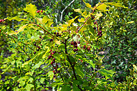 The chokecherry (Prunus virginiana) is a beautiful shrub or small tree found throughout most of North America except for the southeastern states. While the small beautiful cherries are inedible when ripe (mostly because of the dangerously toxic hydrocyanic acid inside the pits of the ripe berries), the cooked or dried berries are perfectly safe for consumption, and are fantastic for making delicious jams, jellies, syrup, sauces or even beer! These were found growing on the side of a rocky mountain slope just above Petty Creek in Alberton, Montana on a warm summer day.