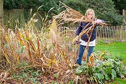 Cutting back messy perennials in a border (crocosmia)