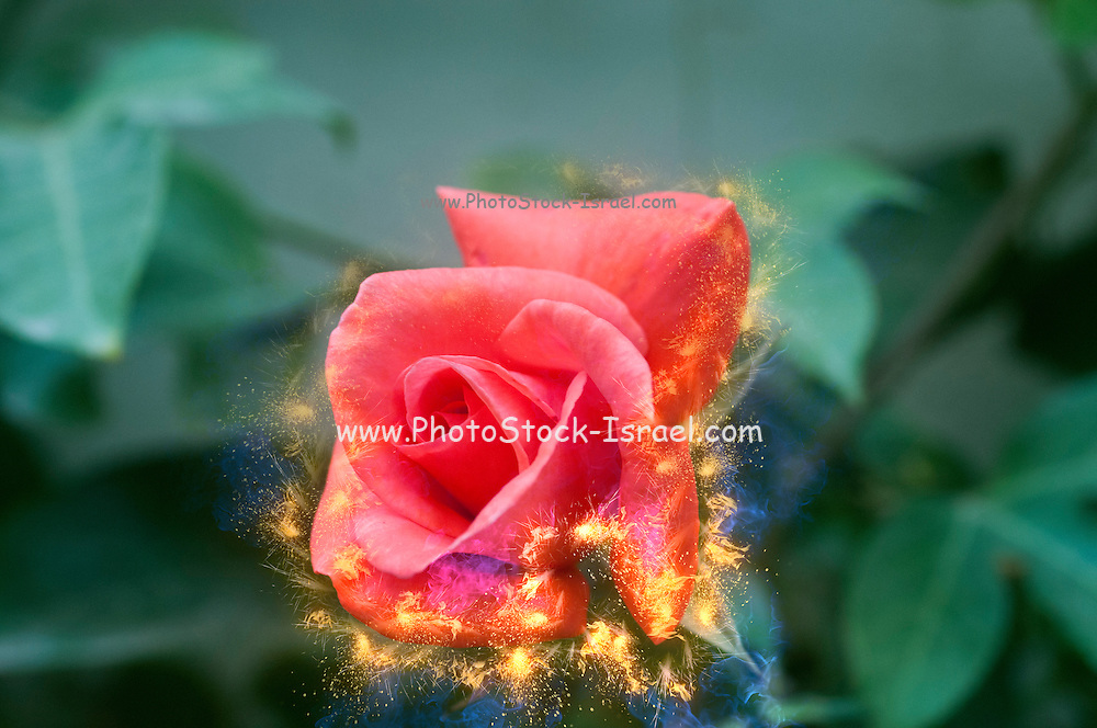 Digitally enhanced orange rose flower with green foliage background