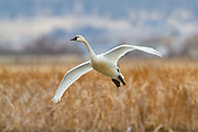 Tundra Swan in central Montana