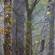 Big leaf maple and alder in the fog during peak autumn color in Mount Rainier National Park Washington.