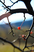 Wild crabapples glowing in the morning light, Acadia National Park, Maine.