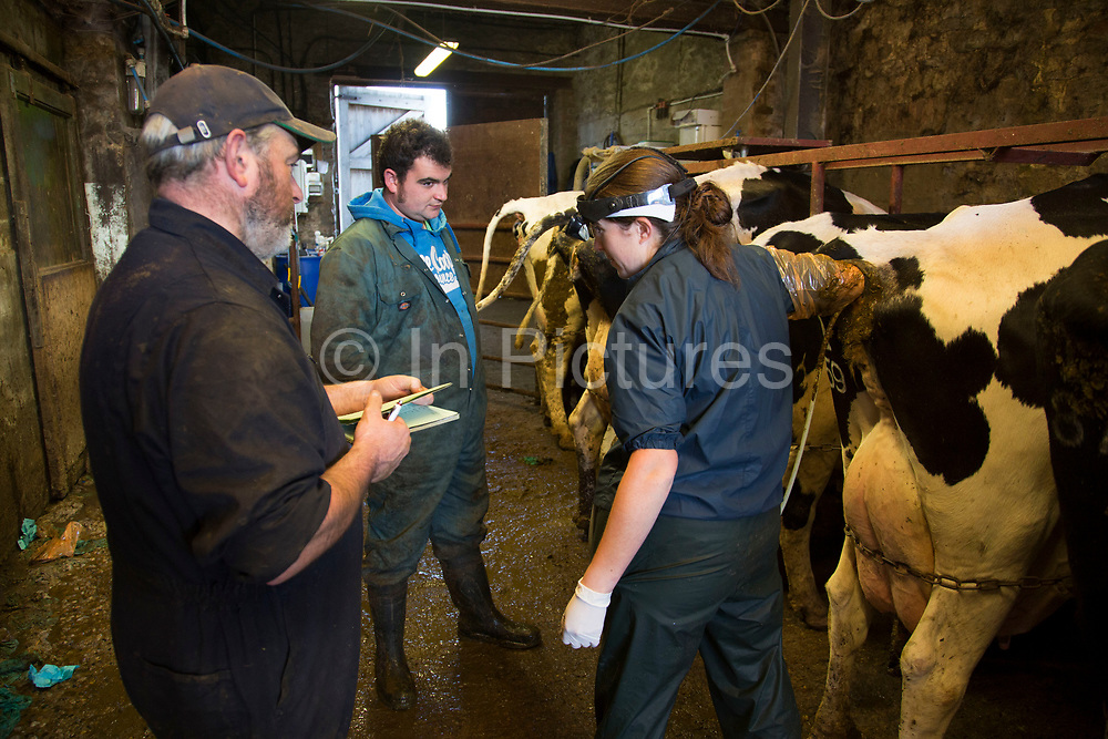 Vet Katharine Blease checks which cows are in calf using an ultrasound scanner. Keeping a healthy herd as well as trying to ensure that each cow has one calf per year and is hopefully therefore served within three months of their previous calf, is a big job and requires a weekly visit from the vet, who checks the health of pre and post natal cows, as well as calves. Chief herdsman Ken Pilkington and James Clark assist. The atmosphere between the colleagues is both highly professional yet fun. Wildon Grange Dairy Farm, Coxwold, North Yorkshire, UK. Owned and run by the Banks family, dairy farming here is a scientific business. From the breeding, nutrition and health of their closed stock of Holstein Friesian cows, through to the end product, the team here work tirelessly to ensure content and healthy animals, and excellent quality milk. (photo by Mike Kemp/In Pictures via Getty Images)