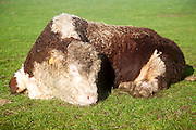 Sleepy pedigree Hereford bull waking up from a sleep, Suffolk, UK