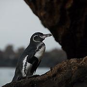 Galapagos Penguin (Sphenisucs mendiculus) on a rock near the ocean.  Galapagos, Ecuador.