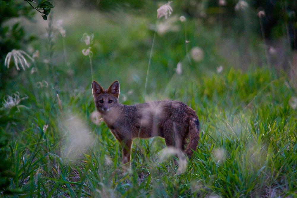Sao Jose do Rio Preto_SP, Brasil...Programa Biota da Unesp, na foto uma raposa...The Biota program of Unesp, In this photo a fox...Foto: JOAO MARCOS ROSA /  NITRO