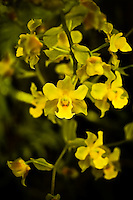 Yellow cowhorn orchid photographed in the pre-dawn in South Florida with a ring-flash. Hopefully this one will be safe from poachers!