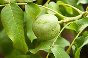 Walnut Tree, Juglans sp., Atlas Mountains, Nr Imlil, Morocco, close up of fruit pod