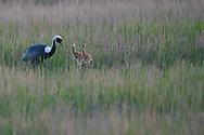 White-naped Crane, Grus vipio, walking on grass with chicks in Inner Mongolia, China