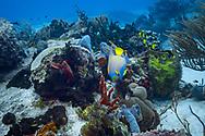 Queen angelfish - Poisson ange royal(Holacanthus ciliaris), Cozumel, Yucatan peninsula, Mexico.