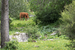 15 March 2019, Ma'alul: Ma'alul, a Palestinian village destroyed in the 1948 Arab-Israeli war, sees a visit by ecumenical accompaniers from the World Council of Churches Ecumenical Accompaniment Programme in Palestine and Israel. Cows graze on the hillside in Ma'alul. A Bedouin family has received permission to use the hill for their cattle, including the intermittent use of the old church structures as barns.