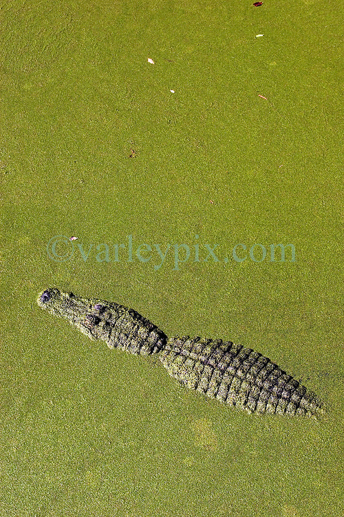 09 Feb 2006. Southern Louisiana.<br /> An alligator rests in pond weed in a south Louisiana swamp.<br /> Photo; Charlie Varley/varleypix.com