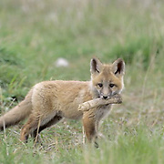 Red Fox, (Vulpus fulva) Kit chewing on bone. Spring. Montana.