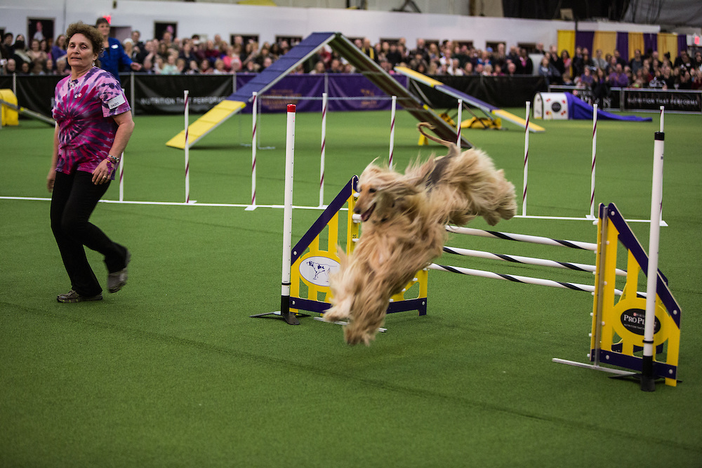 New York, NY - 8 February 2014. Handler Diane L. Bauman guides Afghan hound Reine over the last jump in agility trials at the Westminster Kennel Club dog show. The trials are grouped by size of dog rather than breed, and are timed over the course.