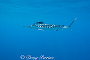 white marlin, Tetrapturus albidus, retracting dorsal and ventral fins to accelerate, off Yucatan Peninsula, Mexico ( Caribbean Sea )