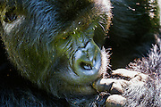 Close-up of a silverback mountain gorilla sucking his finger (Gorilla beringei beringei) in the forest, Parc de Volcanos, Rwanda, Africa