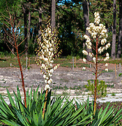 Close-up of a flowering Yucca stem (Yucca filamentosa) at Sao Jacinto Nature Reserve on the shore of Aveiro Lagoon, Portugal