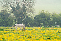 © Licensed to London News Pictures. 01/05/2019.<br /> Sidcup,UK. A horse grazing in a field of yellow buttercups on a cold misty morning on the first day of May in Sidcup, South East London.  Photo credit: Grant Falvey/LNP