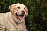 USA, Oregon, Keizer, Labrador Retriever (Canis lupis familiaris)