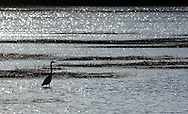 Mamakating , NY  - A heron wades in the water at the Bashakill Wildlife Management Area  on April 13, 2008.
