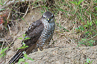 Female Sparrowhawk (Accipiter nisus) at the banks of the river Allier. Pont-du-Chateau, Auvergne, France.