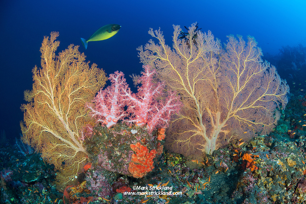 A Sleek Unicornfish, Naso hexacanthus, swims past lush colonies of gorgonians, soft corals and encrusting sponges. Barren Island, Andaman Islands, India, Indian Ocean