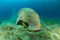 Sea Cow, Dugong dugon, Family Dugongidae, and golden trevally, Gnathodon speciosus, Abu Dabab, Egypt, Red Sea