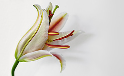 Stargazer Lily #9