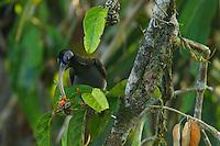 Pale-billed Sicklebill (Drepanornis bruijnii) male.
