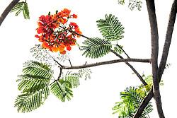 Royal Poinciana Tree Delonix Regia #26