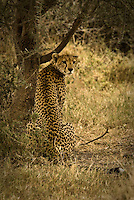 A Cheetah rests in the shade of a tree in the Serengeti National Park, Tanzania