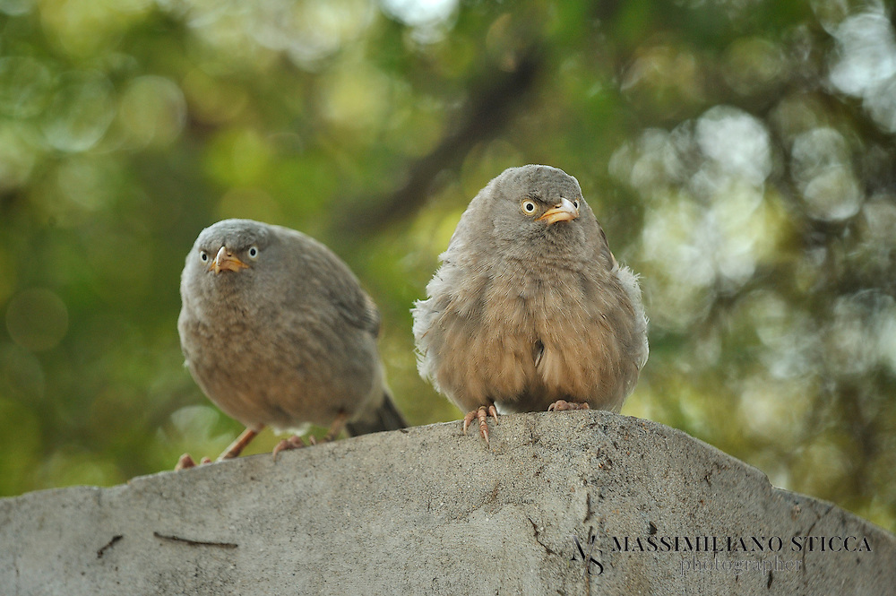 """The Jungle Babbler (Turdoides striata) is a member of the Leiothrichidae family found in the Indian Subcontinent. They are gregarious birds that forage in small groups of six to ten birds, a habit that has given them the popular name of Seven Sisters or Saath bhai in Hindi with cognates in other regional languages which means """"seven brothers"""".<br /> The Jungle Babbler is a common resident breeding bird in most parts of the Indian Subcontinent and is often seen in gardens within large cities as well as in forested areas. In the past, the Orange-billed Babbler, Turdoides rufescens, of Sri Lanka was considered to be a race of this babbler, but is elevated to a species."""