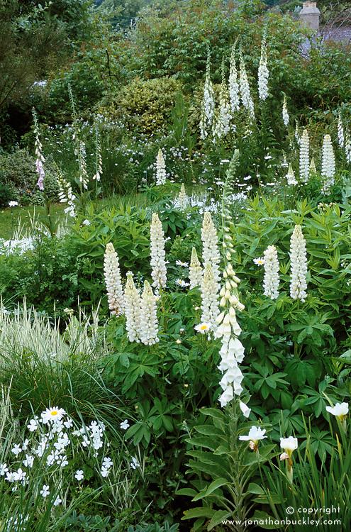 Single colour themed white border at Sticky Wicket. Lupinus 'Noble Maiden' with white foxgloves - Digitalis purpurea 'Alba'