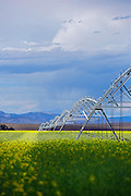 SHOT 8/1/12 4:04:51 PM - Center pivot irrigation system used in a field near Center, Colo. It is a Statutory Town in Rio Grande and Saguache Counties in the U.S. state of Colorado. The population was 2,392 at the 2000 census. Center-pivot irrigation (sometimes called central pivot irrigation), also called circle irrigation, is a method of crop irrigation in which equipment rotates around a pivot and crops are watered with sprinklers. A circular area centered on the pivot is irrigated, often creating a circular pattern in crops when viewed from above (sometimes referred to as crop circles). Most center pivots were initially water-powered, and today most are propelled by electric motors. (Photo by Marc Piscotty / © 2012)