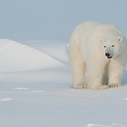 Polar Bear (Ursus maritimus) at Cape Churchill, Manitoba, Canada.
