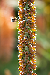 Bee on Digitalis parviflora. Foxglove