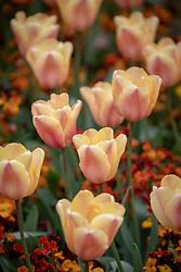 Tulipa 'Apricot Foxx' with Erysimum cheiri 'Sunset Bronze Shades'