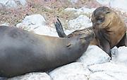 A female Galápagos sea lion (Zalophus wollebaeki) interacts with its young pup.  Isla Plaza Sur, Santa Cruz, Galapagos, Ecuador