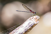 Close up of a red dragonfly resting on a twig
