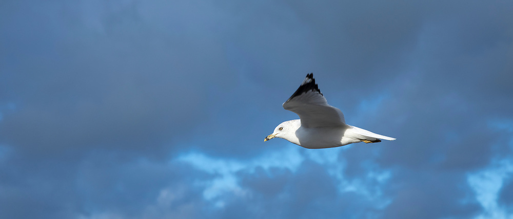 Close up underside of wings and feathers of Ring-billed gull, Larus delawarensis, in lone flight at Cape Cod, USA