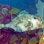 Trunkfish generally swim above a variety of habitats from reefs to sea grass beds Tropical West Atlantic; picture taken Florida Keys.