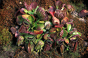 The albany pitcher plant (Cephalotus follicularis) is native to small area in Southwest Australia. The genus Cephalotus has only one species and no close relatives in the plant kingdom.