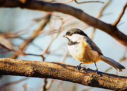 A Black-Capped Chickadee Eying Me From A Tree Branch
