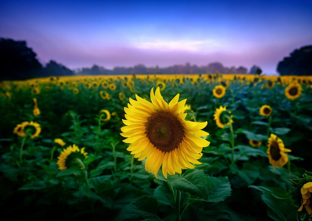 McKee-Beshers Wildlife Management Area Sunflowers, Poolsville, MD .